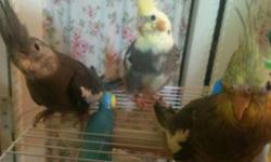 Cockatiel babies ready for a loving family starting at $60 Split English male budgie $50 Mustache parakeet very tame&375 Swainson Lori an amazing bird $400 Yellow parrotlets male $165 English split budgies take $40 Budgie teal blue $35 Budgies English