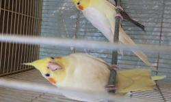 8 month old cockatiels. .. need good home... not tamed..