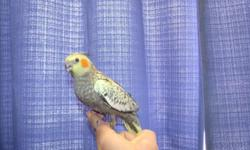 Hello, I have several very friendly handfed cockatiels that need homes. I have a normal Grey. Which are $50.00 each. Sexes are not known They are from 2-3 mo. old.