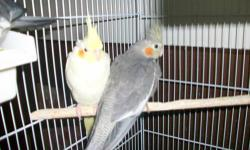 I am listing these cockatiels for my grandmother she has a few young to 1 yr old cockatiels to for sale they have very beautiful markings and as you can see in the photo . - $35.00 for regular cockatiels - $50.00 for Latinos, Pearls, or talking cockatiel