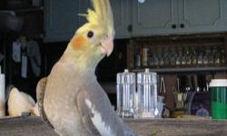 leave a contact phone # for prices healthy baby birds available (guaranteed) all banded & hatch dates available all hand fed babies ready for their new families cockatiels: white face greys, normal greys, cinnamon, cinnamon pied, pearl etc. 4 mths to 10