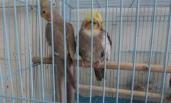I have Cockatiels many colors male and female please call for more information. 619-942-1674 or visit Arrieros Pet Shop 2550 Imperial Ave San Diego, CA 92102