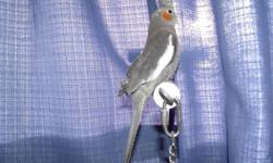 Hello, I have a few baby handfed cockatiels for adoption. All very friendly and easy to handle. $50.00 each See pics..
