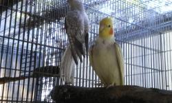 I have a pair of cockatiels for sale male is a pearl pied split lutino and yellow cheek female is a pearl split whiteface proven breeder pair, male is semi tame female is fully tame asking for $75 for male and $85 for female pick up only cash only email