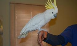 """Cockatoo for sale with large cage - asking $1,350 Hand tame, fully feathered. He can talk and sing , loves to be the center of attention Needs a home that can give him lots of attention , we are just too busy and not home enough anymore Cage size: 65"""""""