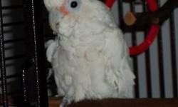 Cockatoo - Clancy - Medium - Adult - Male - Bird Poor Clancy the umbrella cockatoo suffers from name envy. His best pal in the whole world is another male umbrella named Sugar. In fact, they share the same cage. Whenever anybody comes near, Clancy rushes