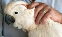 Cockatoo - Kiki - Large - Adult - Male - Bird Kiki is a well socialized male Moluccan cockatoo; he loves to spend time with people and so far is stepping up reliably for everyone he's encountered. He'll make a wonderful companion for someone with cockatoo