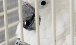 Cockatoo - Malakai - Large - Adult - Male - Bird Malakai (Kai) is an approximately 7 year old male Umbrella Cockatoo. He is tame and handlable. Cockatoos can be very loud, so no multi-dwelling homes please. Kai has been vet checked, including bloodwork.