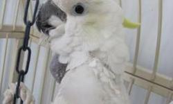 Cockatoo - Samatha Or Sammie - Medium - Adult - Female - Bird My name is Samantha or better known as Sammie. I am a Medium Sulfur Crest Cockatoo. I do prefer men. I have been known to protect my chosen companion by chasing away others who I see as a
