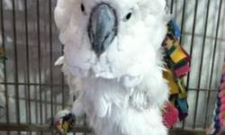 Cockatoo - Zeus - Large - Young - Bird Zeus is an approximately 4.5 year old unsexed Umbrella Cockatoo. He was in pretty bad shape when he came in. He was surrendered at a local shelter with a bag of peanuts. Emotionally he was shut down. But it didn't