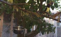 Proven breeding pair, perfect condition, female sitting on egg now $2750 One pair green aracari One pair ivory bill aracari All in perfect condition and all pairs are proven for all 3 pairs $7500