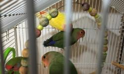 Young Adult Lovebirds for Sale Contact Miran During Business Hours to Inquire 212-719-1002