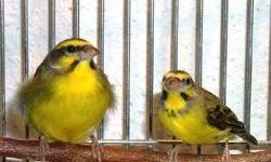 Compro Love birds, Perekees y finches para Pet Shop, llamar a Ariel al 7863629124