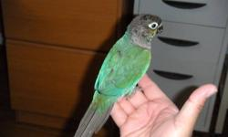 We have a Cinnamon Conure Proven Male 3 years old, also have a Turquoise Conure Proven Male a year old and finally have a pair of Black Cat Conures all these are proven breeders they have had beautiful clutches if interested: Cinnamon @ 150.00 Turquoise @
