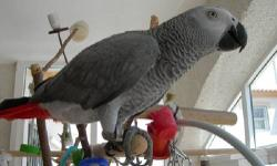 Congo African Grey parrot, approximately 4 yrs old. Large vocabulary (no bad words). He has been able to be handled in the past but it has been a while since he has been so he will take some work. $800 for bird, cage, and toys $650 for bird alone.