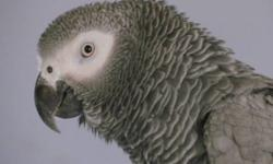 I am re-homing a 21 year old believe to be male Congo African Grey, he doesn't talk but makes all kinds of different noises including a telephone ringing and then will say Hello in a mechanical voice.He is in excellent feather condition and doesn't have