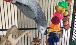 2 years old Congo African grey is looking for new home , he is very tame never bite and talk a lot I am asking 550 with cage