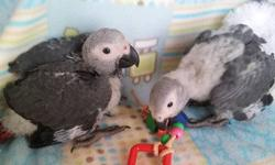 We are taking reservations for sweet Congo African Grey babies. They will be ready to go to their new homes in about three weeks. We will be at the MCBA sponsored Pet Bird & Product Expo in Maplewood on March 3rd. For directions and time, please see the