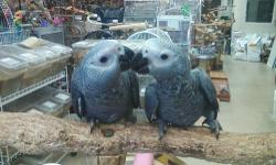 we have beautiful babies available fully weaned $1099.99 will ship specializing greys for 25 years www.flbirdhouse.com