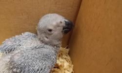 we have beautiful congo african greys available these are large silver greys. hand feeding now reserve your baby now www.flbirdhouse.com will ship