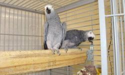 I have one baby Congo left, comes with DNA and certificate, hatch certificate, stainless steel band. We raise very well socialized birds. We specialize in African Greys www.CountryBirdsAviary.com or 812-366-0300