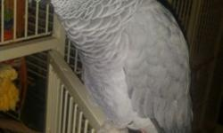 I have a beautiful female African grey 4 years old,she's currently on a zupreme pellet diet with fruits and vegetables..she has all her feathers never plucked.comes ftom a Clean smoke free environment.she has a very large vocabulary and imitates lots of