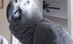 Pet male CAG for sale. Est to be 3-4 years old. Please do your research before buying an African Grey or any other parrot. Comes with cage and toys.