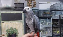 2 super tame and starting to talk congo african grey parrots perfect condition tame with everybody.... don't delay only 2 available the perfect holiday gift call today 954-632-0863 all credit cards accepted....ship any where