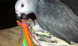 We have an Awesome African Gray Congo. male and female ,they are only 12months old. Great x-mas gift idea!!they are very friendly, does not bite and loves to be pet on their head.