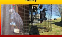 Rocky is a Congo African Grey with a very visible red factor gene. The red factor feathers can be seen on his chest and to some degree on his shoulders. However, Rocky has a small problem with feather picking. He is being fed a premium seed diet,