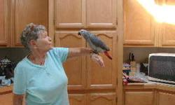 5 month young friendly, able to handle African greys available to adopt to a pet home. Will be happy to send photos.