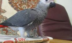 This is a very unique chick. He is three + months old, flying, social, weaned, chatting and very sweet. He likes people and other birds. Born and raised in my home.