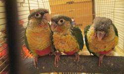 We have 4 very sweet Hand fed and hand tame Conure babies . ( We take pride in raising our babies to be very sweet and loving. all are on the best diets available. Our birds are not only our pets but our Hobby as well, We have been hobby breeding and