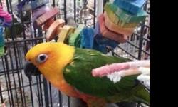 Conure - Charlie - Medium - Adult - Bird Charlie is an approximately 19.5 year old unsexed Jenday Conure. He is tame and handlable and in good feather. The previous owner had him for 7.5 years. They surrendered him due to having a toddler and one on the