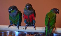 2 crimson bellied conures, 1 roseifrons conure. These are small conures, hand fed and hand tame. They are quiet compared to other conures such as Sun or Jenday. The crimsons will have bright red bellies as they mature. The roseifrons will have a bright
