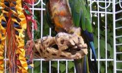 Conure - Jazz - Small - Young - Bird Jazz is a Jenday Conure who is looking for a forever home. Jazz steps up and likes to be petted. He likes most people, but prefers men. He occasionally shows some minor aggression towards women if men are around. He