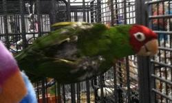 Conure - Sonny - Medium - Adult - Male - Bird Sonny is an adult male Mitred Conure. His owner was killed by a hit and run driver so we have no history on him. He is tame and handlable and loves to be with people. He is plucked and we doubt the feathers
