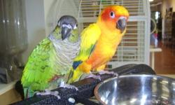 Conure - Woody - Small - Young - Male - Bird Woody is a Nanday Conure,about 4 years old. He has been abused and is feather plucked. He is on a pelleted diet and has a hardy appetite. He likes to talk and has a great personality. He loves to cuddle up in a