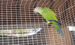 Dusky conure male, black cap conure male breeder $ 130.00 each one or trade with female green cheek yellowside, both are dna sexed.