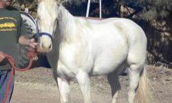 Nilly is a 2008 filly. She is Cremello with blue eyes. I don't have current pictures of her, these were taken in 2010. She has grown and filled out. She is an easy keeper and will broaden out with a little extra feeding. She was broke and ridden for 6+