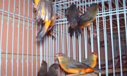 I have a pair of cresting Pinguin Finch for more information contact me at7863432409