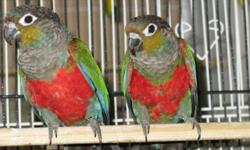 Crimson-Bellied Conures, surgically sexed male and female siblings, 7 months old, not hand fed. Male $400. Female $450. Please call George at 951-805-1929.