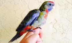hybrid baby crimson rosella handfed and tamed almost fully is now available for adoption not much breeder do tamed /handfed rosella do not call if not interested contact text only only only Free DNA simple procedure with no cost at all