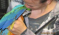 This is a gorgeous, sweet, cuddly, playful male Catalina macaw baby. He is recently weaned and ready to go home. He already talks clearly and absolutely loves everyone! He is outgoing, social and loves to play with his toys. He would prefer to be cuddled