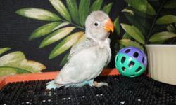 These babies make wonderful pets if kept singly, if you want beautiful caged birds, then 2 are the best bet. They are playful when kept together, when alone, love to be in your hair or on your shoulder just hanging out. There are 2 normal Blue Black