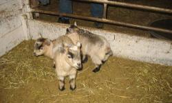 Cute male pygmy goat babies. They've had their first shots and been dehorned. They will make great pets.