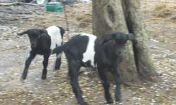 Pretty black and white 1/2 alpine 1/2 nubian doeling. and Her twin brother, whethered, disbudded, friendly, Weaned, from CAE negative stock, disbudded, friendly. She will make a great milker next year. He will be a good companion goat or BBQ 150.00 but