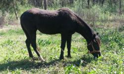 Dancer is a black Fox Trotter/ Quarter Horse Mix. He is a stallion and we are planning on fixing him soon and the price will go up. He is very good for being a stallion and imagine after getting cut, will be top quality. Must come pick up. Accepting cash,
