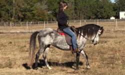 6 year old mare, registered, paso fino, 13.2hh. Current on vaccines, coggins, health certificate, farrier, teeth floated a few months ago. She's an amazing mare with excellent bloodlines from Amadeus. She's been broke for a year and was started the right