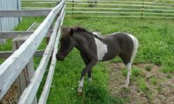 Dark Bay thoroughbred mare. She is 7 years old. She is registered! I can email pictures. Please call for more information.